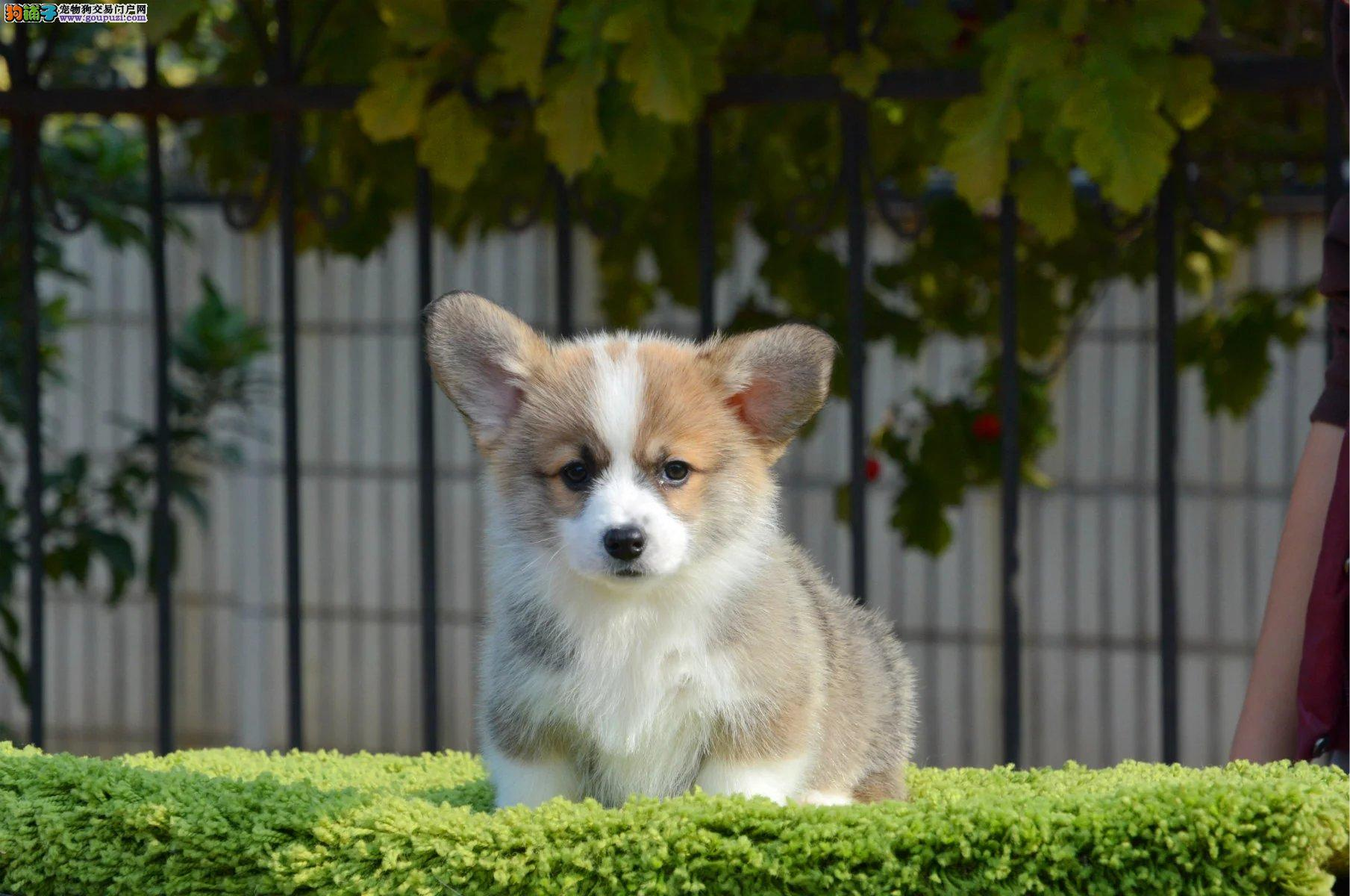 威尔士柯基犬 小短腿 双色三色幼犬 实地挑选