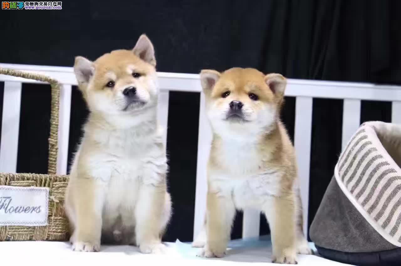 高品质日系柴犬、高端儒雅 可爱健康 疫苗做齐待售