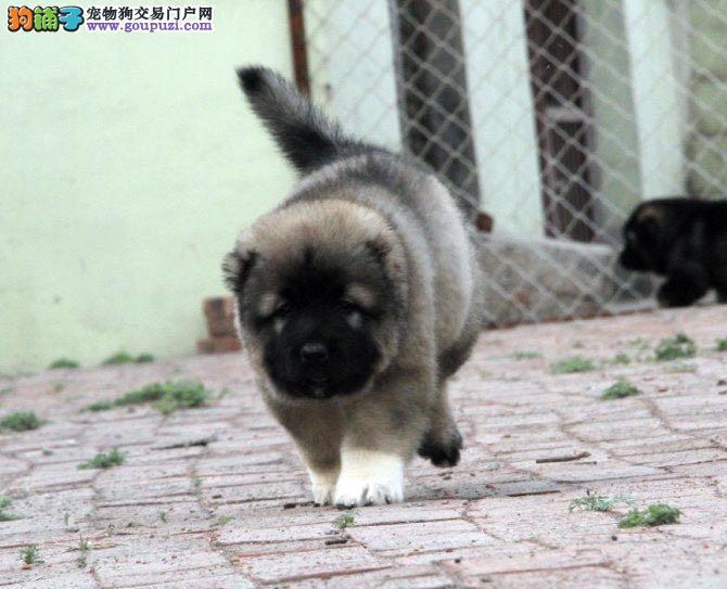 纯种熊版高加索犬,实体犬舍繁殖,可看视频