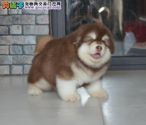 纯种健康阿拉斯加犬,熊版阿拉斯加,巨型阿拉斯