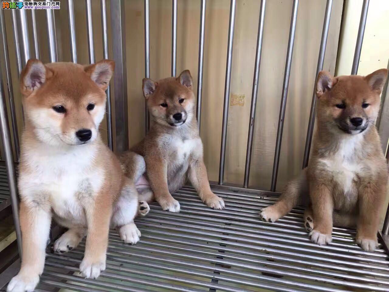 纯日系柴犬、双血统后代、赛级品质