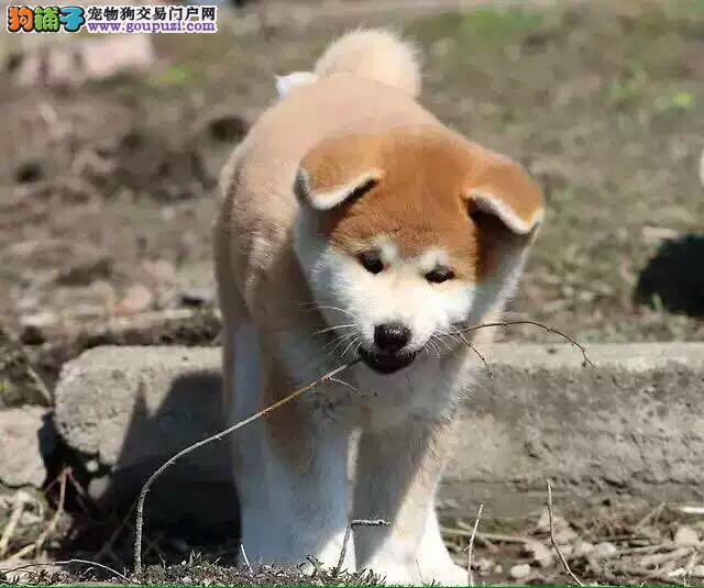 出售顶级血统秋田犬、不经过任何第三方中介