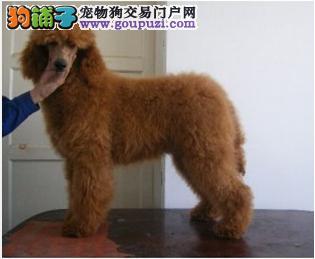 巨型贵宾犬 正规犬舍直销 疫苗齐全