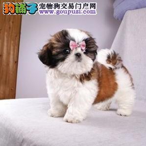 纯种西施犬,CKU认证犬舍 可签协议