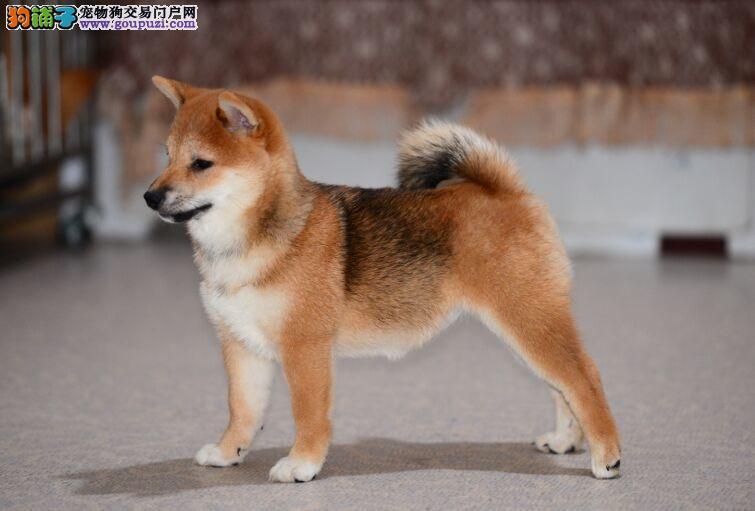 日本柴犬 纯种日系赤色柴犬、疫苗全