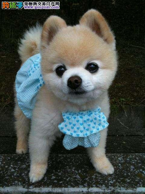 博美 小型犬 俊杰犬 颜色多种 公母都有