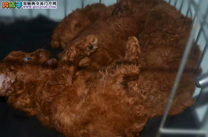 出售6只两个月家养棕红色泰迪健康聪明乖巧疫苗已打