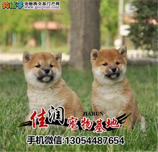 高品质柴犬带血统出售中 终身质保 质量三包 可签协议
