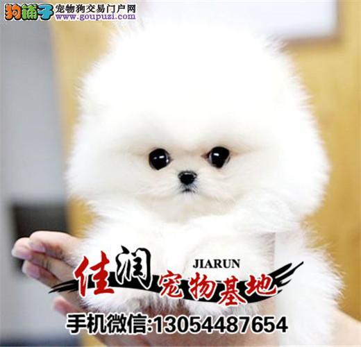 出售纯种博美幼犬 品相好健康有保障 可签购犬协议