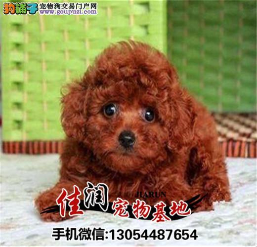 精品茶杯泰迪犬 赛级茶杯泰迪幼犬 签协议