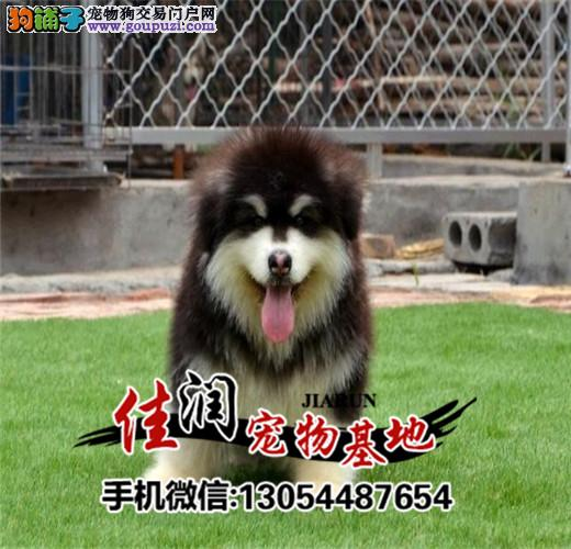 极品阿拉斯加在这里、保障纯种和健康十佳犬舍CKU认证