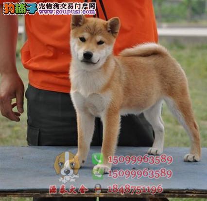 潮州哪里有卖柴犬幼犬 纯种柴犬多少钱一只 柴犬价格