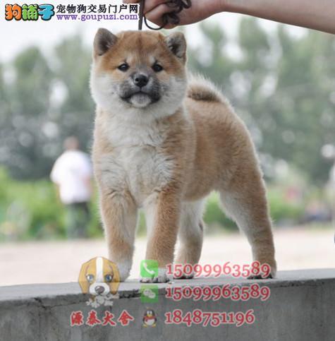 汕头哪里有卖柴犬幼犬 柴犬多少钱一只 柴犬价格