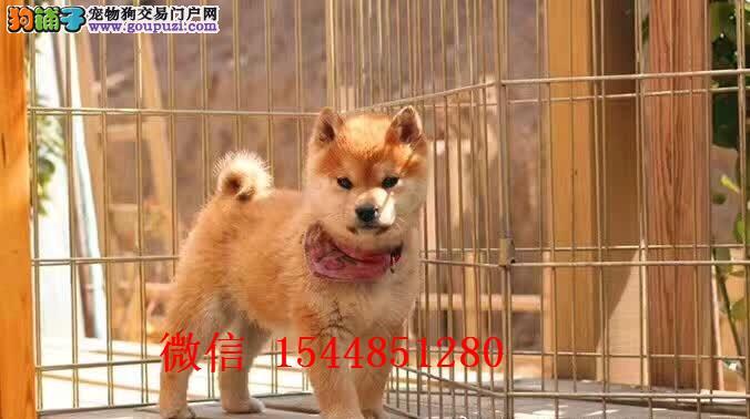郑州柴犬 日系柴犬 柴犬价格 柴犬图片 赤色柴犬犬舍
