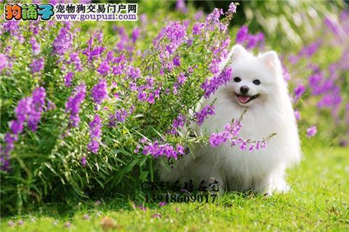 上海博美漂亮袖珍带证书全国发货