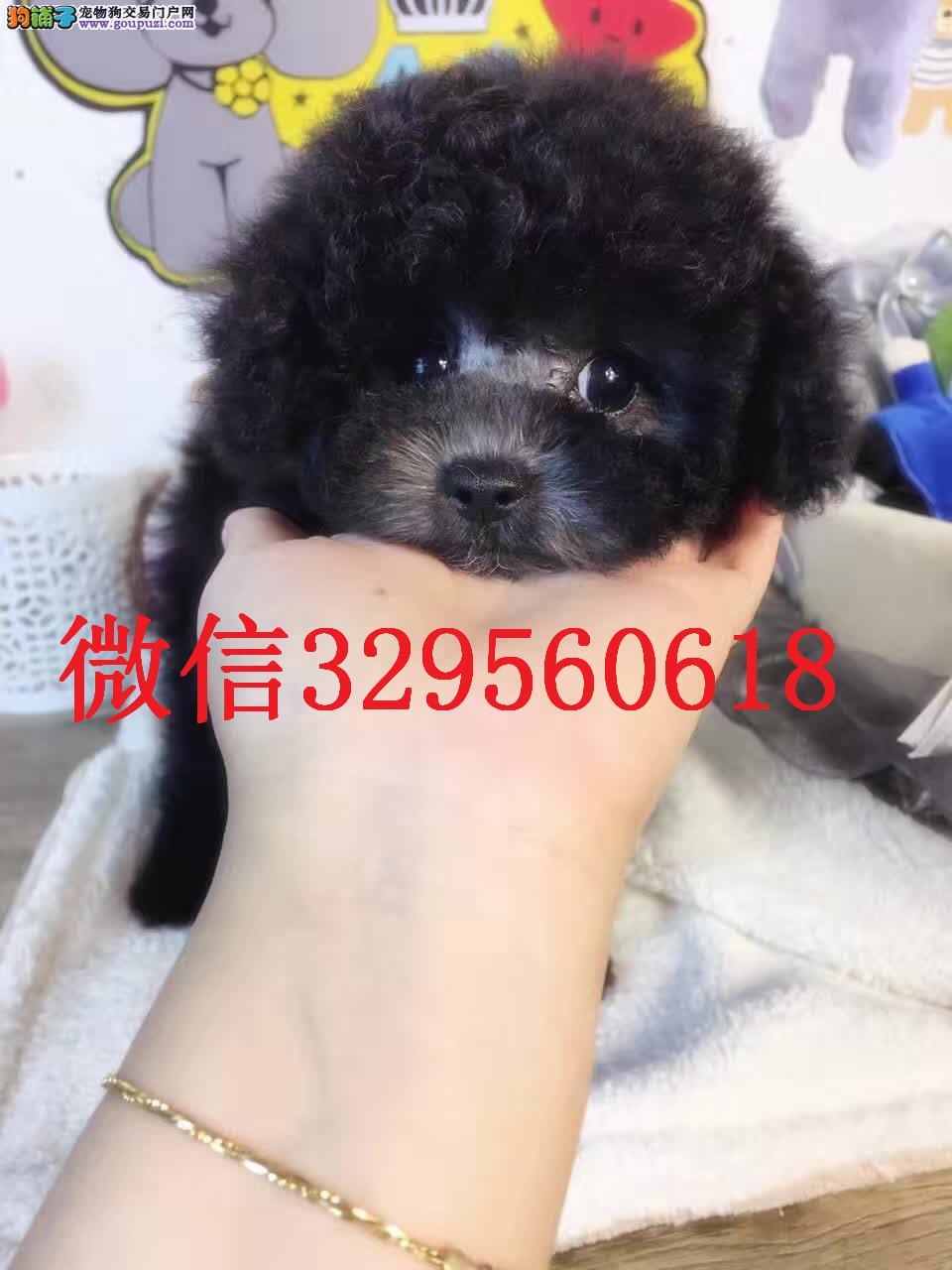 长春出售纯种灰色泰迪 灰泰迪价格 灰色泰迪幼犬出售