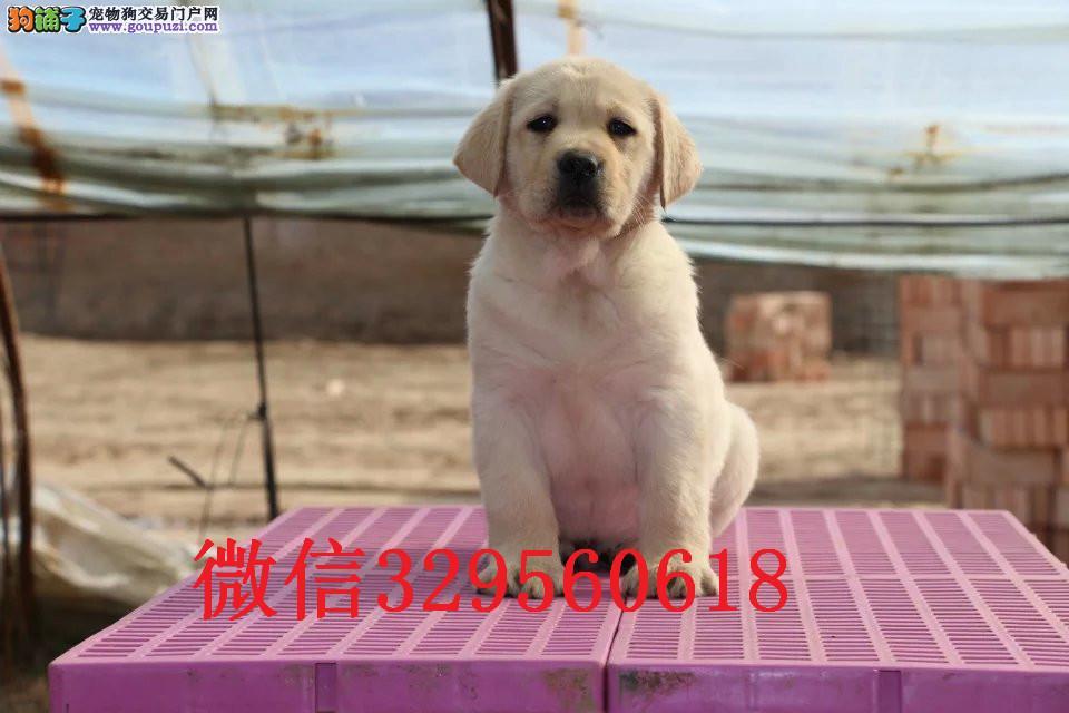 长春哪里卖拉布拉多犬 纯种拉布拉多价格 赛级拉布拉多