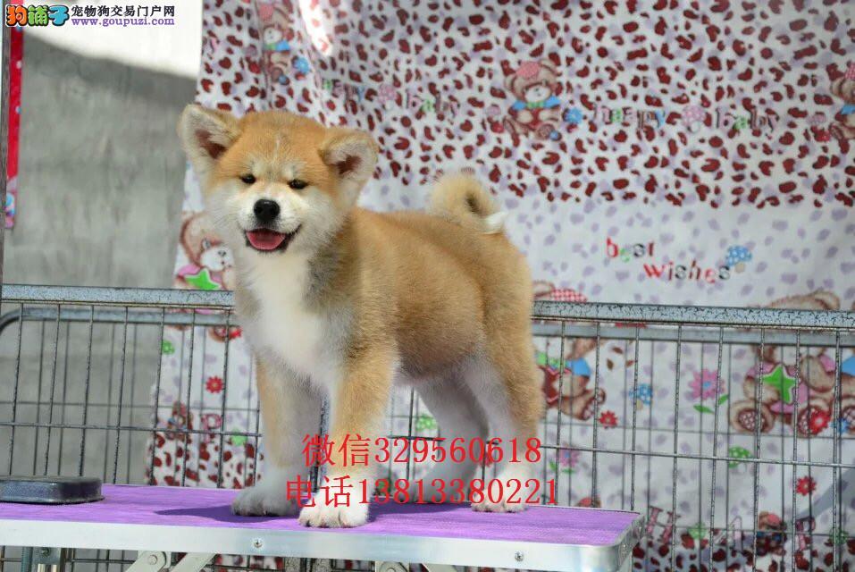 长春有卖秋田犬的吗 纯种日系秋田犬价格多少钱一只