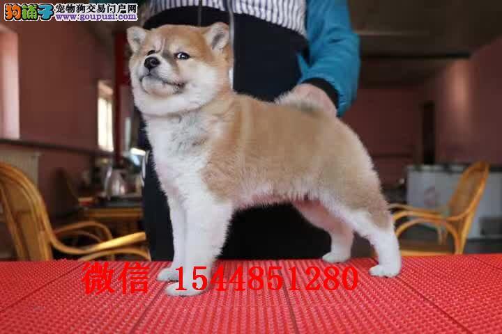 乌鲁木齐柴犬 赤色柴犬多少钱 日系柴犬图片 柴犬犬舍