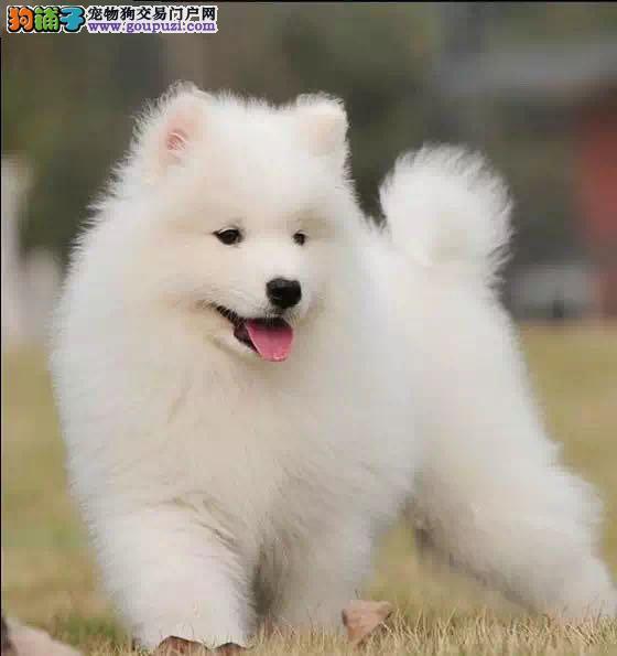 微笑天使萨摩耶幼犬赛级犬后代保健康可视频签协议