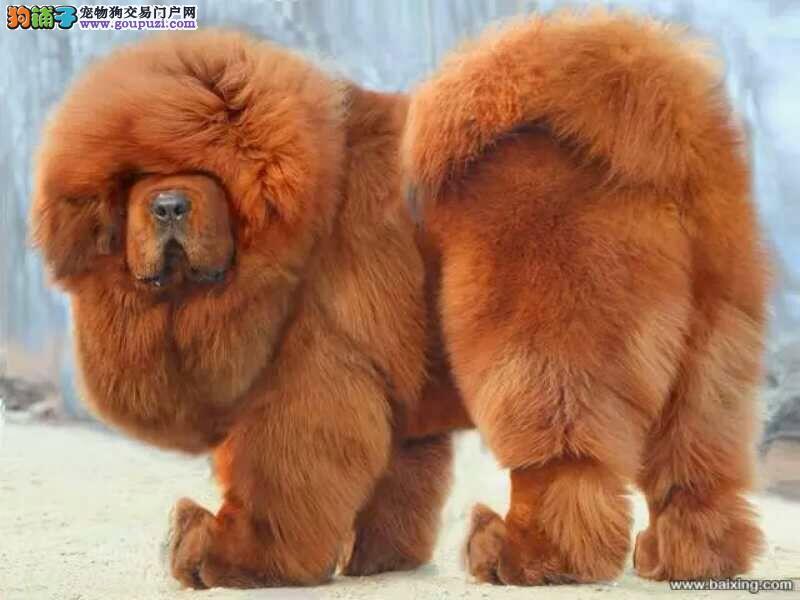 纯种铁包金藏獒 狮子头藏獒幼犬 狗场直销 纯种保