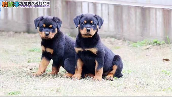 高品质防暴犬罗威纳出售纯种德系大头版罗威纳幼犬