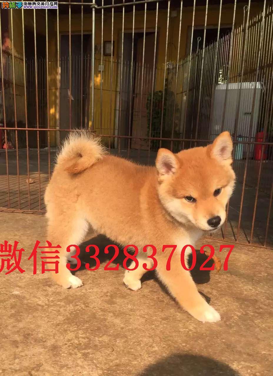 吉林哪里有卖柴犬 纯种柴犬多少钱 日系柴犬 柴犬图片