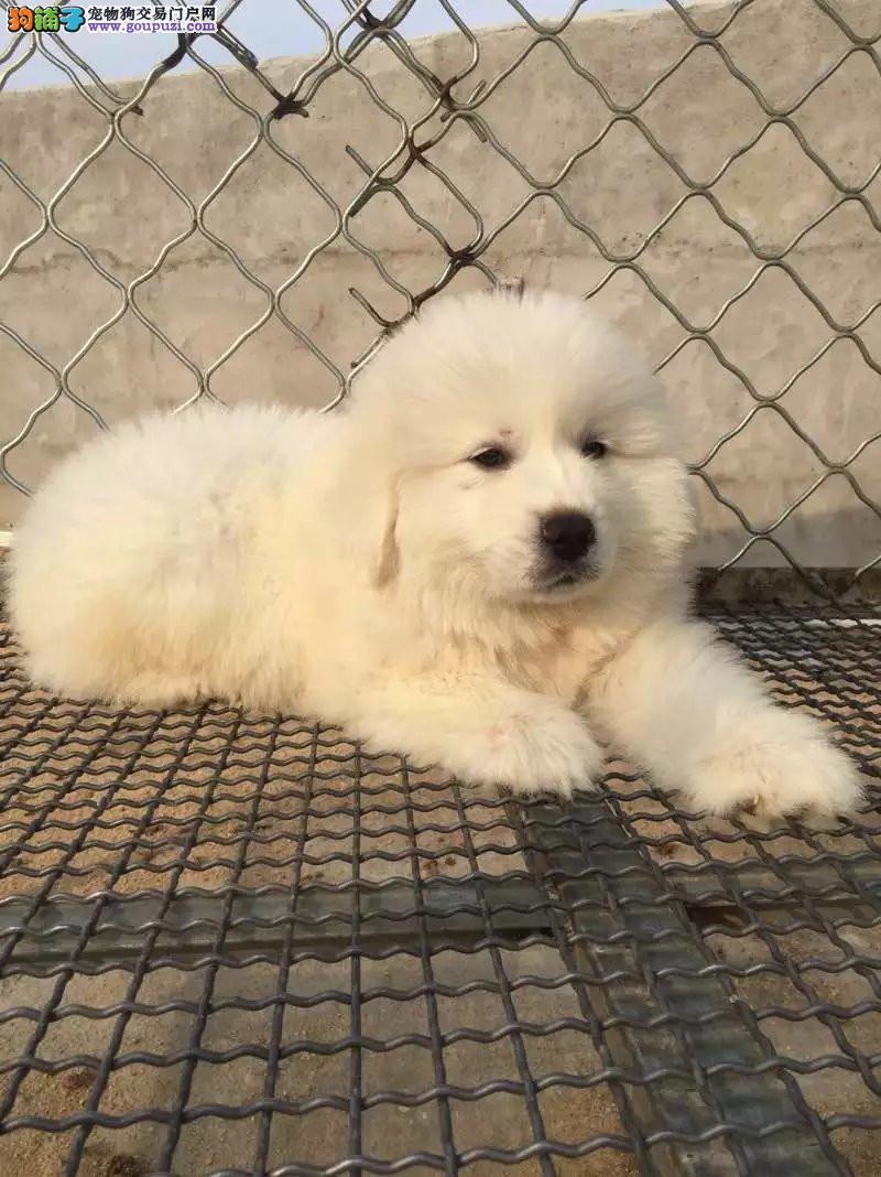 吉林哪里有卖大白熊犬 纯种大白熊多少钱 大白熊犬舍