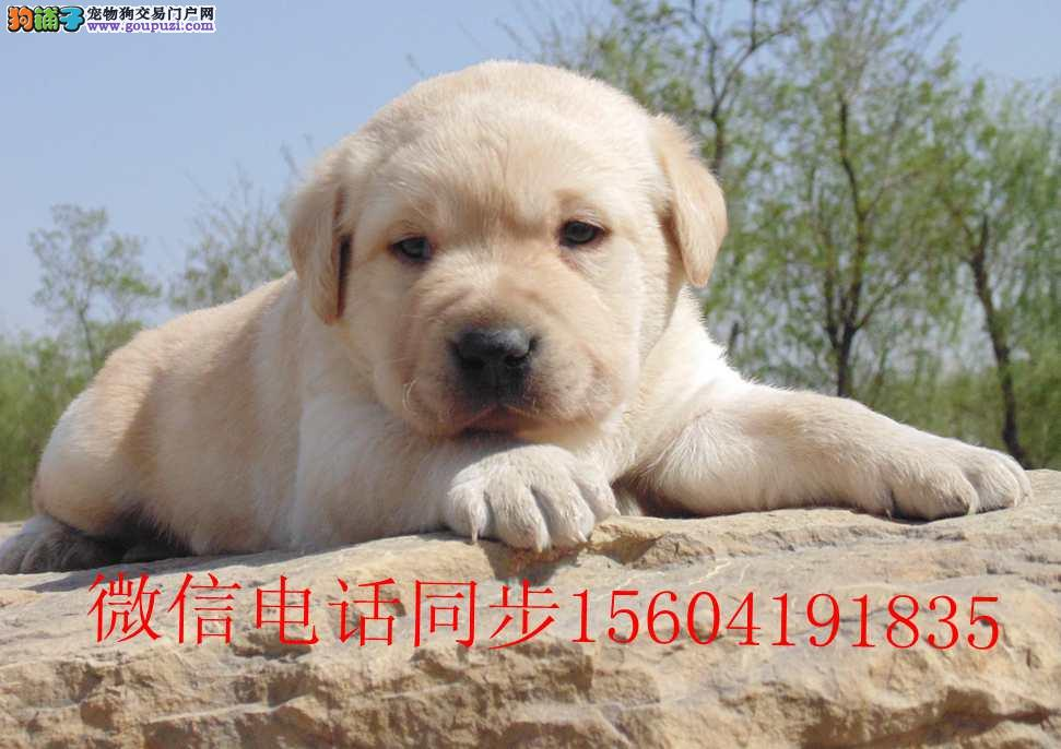 超可爱拉布拉多幼犬找新家
