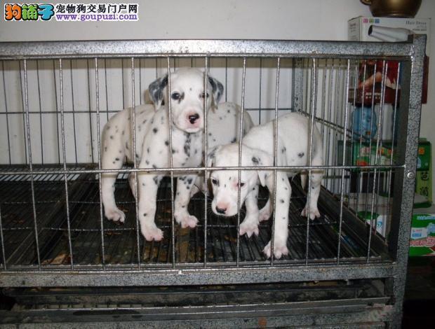 广州卖斑点犬的地方 广州买一只纯种斑点犬多少钱