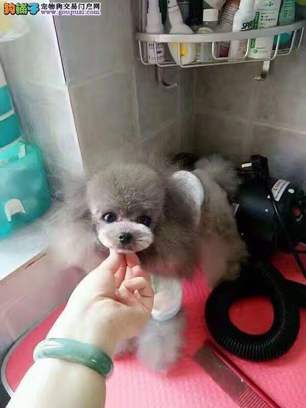 萌萌哒泰迪熊犬品相好有多只可选 健康有保障