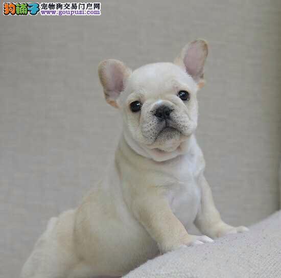 出售纯种法国极品斗牛幼犬,品质保证 健康保证