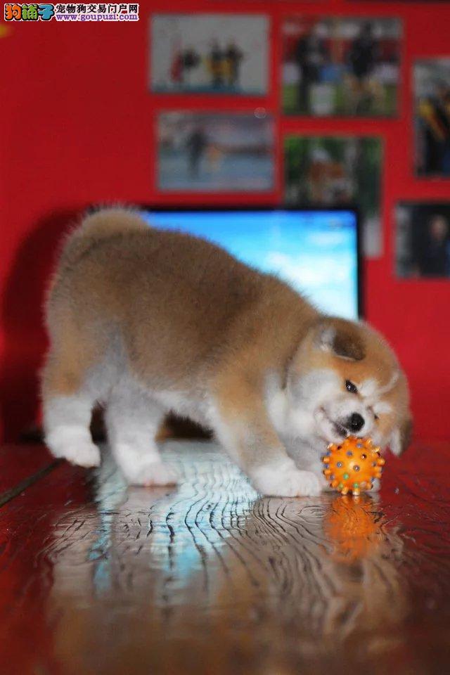 日系秋田犬,专业正规养殖,可看大狗
