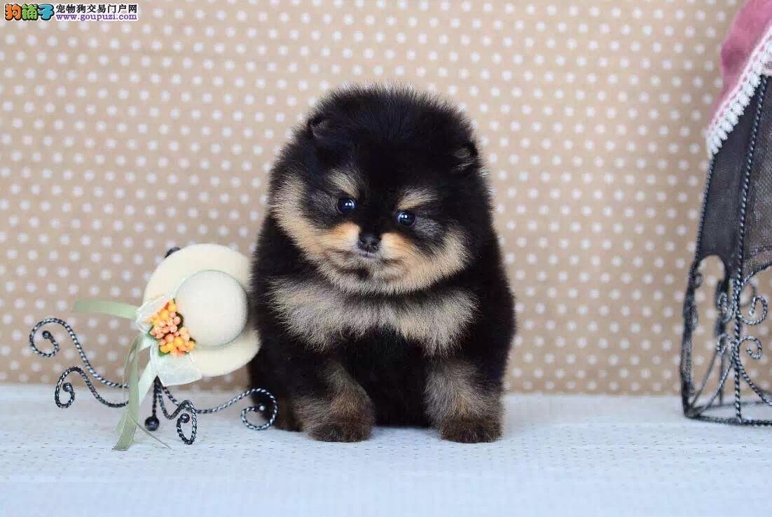 纯种博美犬宝宝出售,专业繁殖犬舍,签协议保健康
