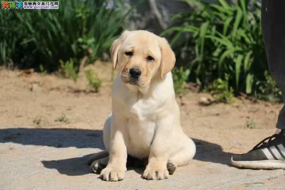 出售纯种,带血统,拉布拉多犬,专业繁殖