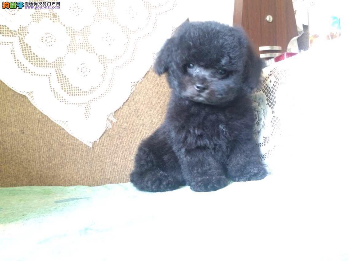 正规狗场,出售纯种泰迪熊,保纯种保健康,签协议