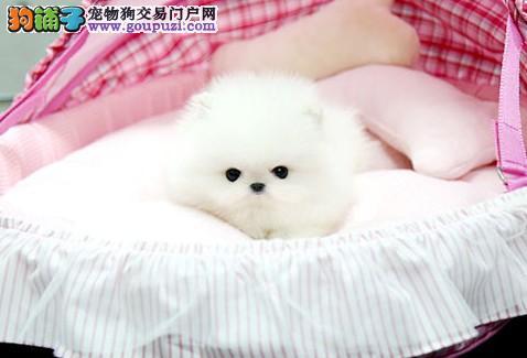 韩系纯白博美 方体爆毛短嘴,球体终身质保纯种