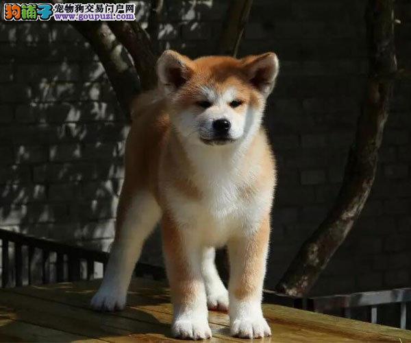 专业繁殖纯种日系秋田犬 正规犬舍质保终身带秋保