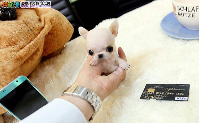 娃娃,瓷娃娃版,小的精致可爱,犬种中第一小体