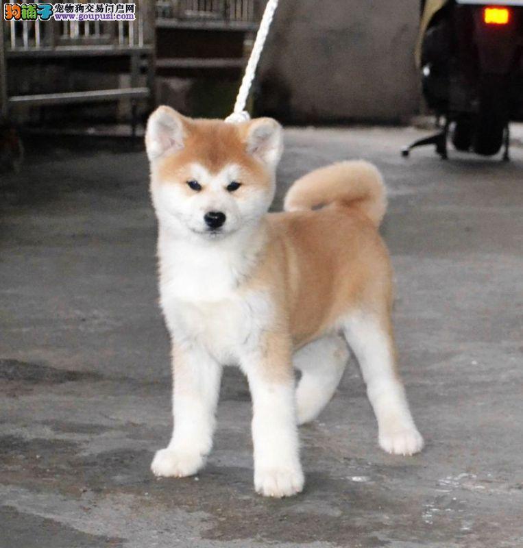 日系秋田犬,全天营业,随时可以上门看狗
