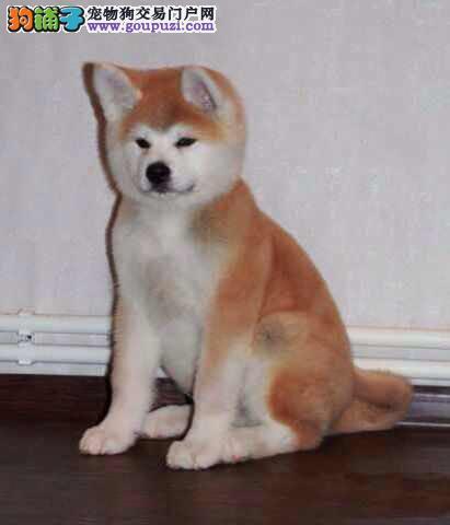 日系秋田犬,可查秋保 健康质保三个月
