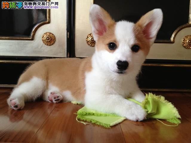 威尔士柯基犬,三色两色 三通柯基幼犬出售