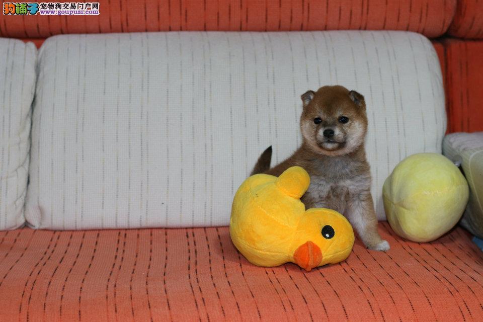 性格活跃,小型犬柴犬宝宝出售