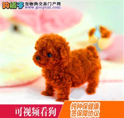 荣昌县上门犬业出售贵宾犬/当天全款包邮·送货上门
