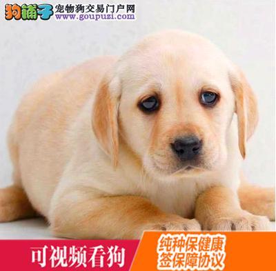 思茅地区上门犬业出售拉布拉多犬/当天全款包邮·送货