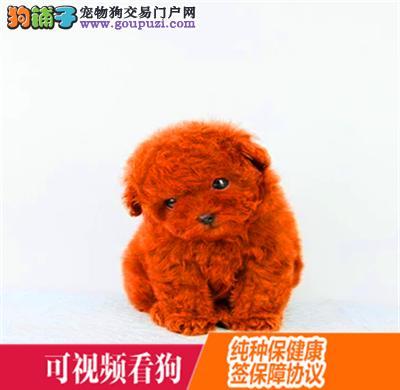 武隆县上门犬业出售贵宾犬/当天全款包邮·送货上门