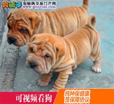 丰都县上门犬业出售沙皮狗/当天全款包邮·送货上门