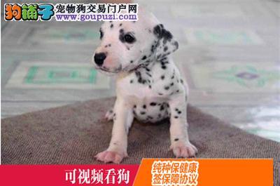 云阳县上门犬业出售斑点狗/当天全款包邮·送货上门