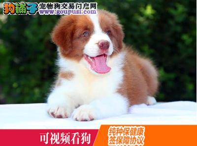云阳县上门犬业出售苏格兰牧羊犬/当天全款包邮·送货
