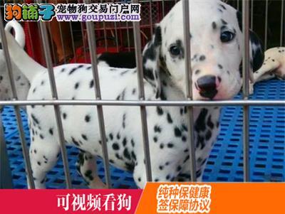 忠县上门犬业出售斑点狗/当天全款包邮·送货上门